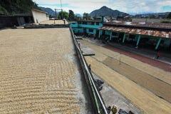 Сушить кофейных зерен Стоковые Фотографии RF
