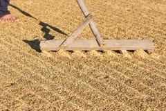 Сушить сжатый рис в плоском поле стоковые фото