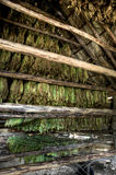 Сушить табака выходит, Vinales, Куба Стоковые Фотографии RF