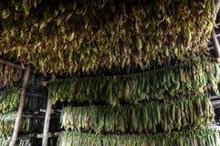 Сушить табака выходит, Vinales, Куба Стоковые Фото