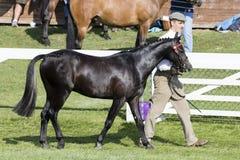 Судить лошадей Стоковые Фотографии RF