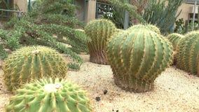 Сфера терния кактуса тележки видеоматериал