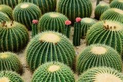 Сферически кактус стоковые фотографии rf