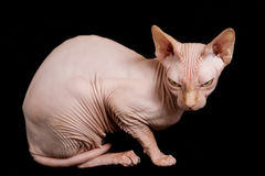 Сфинкс кота Стоковые Изображения RF