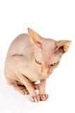 Сфинкс кота Стоковая Фотография RF