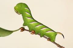 сфинкс ligustri hawkmoth гусеницы Стоковая Фотография RF