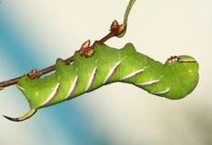 сфинкс ligustri hawkmoth гусеницы Стоковое Фото