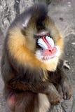 сфинкс mandrillus Стоковое Изображение RF