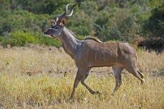 сфокусированное kudu стоковое фото