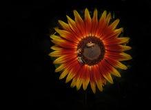 Сфокусированные пчелы на цветке Стоковое Фото