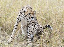 сфокусированный гепард Стоковое Изображение