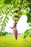 Сфокусируйте бутон банана на дереве с предпосылкой поля зеленой травы Азиатское superfruit fruits тропическо изображение для bacg стоковое фото