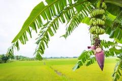 Сфокусируйте бутон банана на дереве с предпосылкой поля зеленой травы Азиатское superfruit fruits тропическо изображение для bacg стоковое изображение