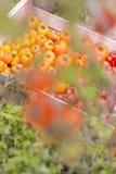 Сфокусируйте крупный план на полной клети различного вида томатов Стоковая Фотография