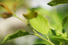 Сфокусируйте на части ветвей дерева листа Стоковая Фотография RF