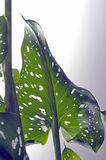 сформированная лилия сердца calla золотистая стоковые фото