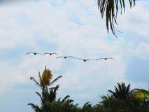 Сформированное летание альбатроса Стоковая Фотография