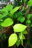 сформированные листья сердца Стоковое Фото