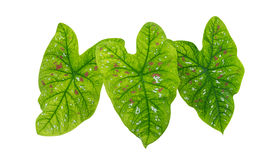 Сформированные сердцем зеленые тропические листья завода листвы изолированные на белой предпосылке, пути стоковое фото rf