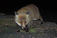 Сфотографированная лиса пока причаливать тайный в темноте - парк Этна стоковые изображения