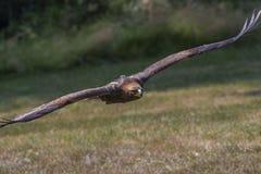 сфотографированное золотистое полета орла colorado Стоковое Фото
