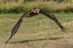 сфотографированное золотистое полета орла colorado Стоковые Фотографии RF
