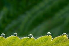 Сфотографированные падения макроса большие росы на зеленых листьях Стоковые Фото
