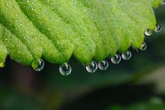 Сфотографированные падения макроса росы на зеленых листьях str Стоковые Изображения