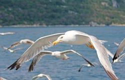 Сфотографированный в Хорватии Белые чайки летают над морем Стоковая Фотография RF