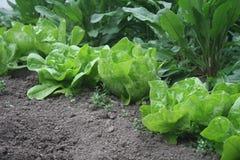 Сфотографировали салат и швейцарский мангольд в дворе Страна фокуса и меньший салат Стоковое Изображение RF