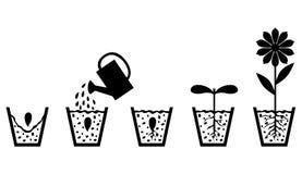 Схема выращивания растения от семени к цветку Стоковые Изображения RF