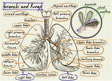 Схема человеческих легких Стоковое Фото