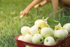 Сход органических яблок лета в пластичной коробке сада Стоковое Фото
