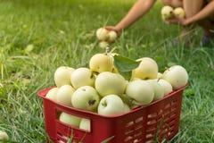 Сход органических яблок лета в пластичной коробке сада Стоковые Изображения