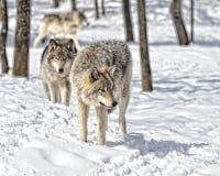 Сход волка Стоковое Изображение