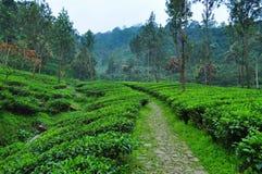 Сценарная дорожка плантации чая на Puncak Стоковая Фотография RF