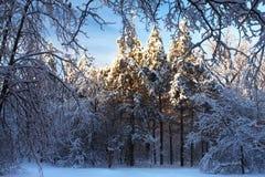 Сценарное изображение дерева спрусов Морозный день, спокойная зимняя сцена лыжа курорта Исследуйте красоту земли Деревенский дом  стоковое изображение