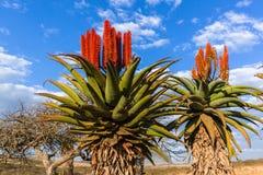 Сценарные африканские заводы цветков алоэ Стоковая Фотография