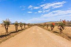 Сценарные африканские заводы цветков алоэ Стоковая Фотография RF