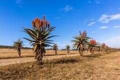 Сценарные африканские заводы цветков алоэ Стоковое Фото