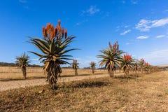Сценарные африканские заводы цветков алоэ Стоковые Фото