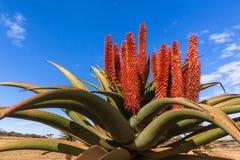 Сценарные африканские заводы цветков алоэ Стоковое Изображение