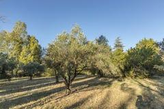Сценарные оливковые дерева в парке около Lourmarin, Провансали, Франции стоковое фото rf