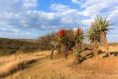Сценарный африканский ландшафт заводов алоэ Стоковые Фотографии RF