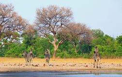 Сценарный взгляд небольшого табуна зебр на крае waterhole, национальный парк Hwange, Зимбабве стоковая фотография