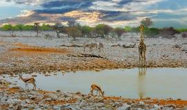 Сценарный взгляд на waterhole okaukeujo в национальном парке Etosha, Стоковое Изображение