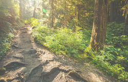Сценарный взгляд пути пути в лесе с светом солнца Стоковые Фото