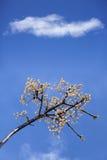 Сцена весны с белыми вишнями Стоковое фото RF