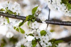 Сцена весны с белыми цветениями Стоковые Фотографии RF