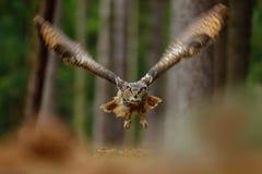Сцена действия с сычом в сыче орла летания леса евроазиатском с открытыми крылами в среду обитания с деревьями, фото леса широкоф Стоковые Изображения RF